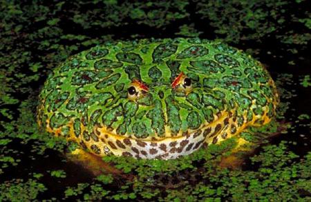 http://img42.xooimage.com/files/0/5/4/a96745_ornatehornedfrog-10cb11f.jpg