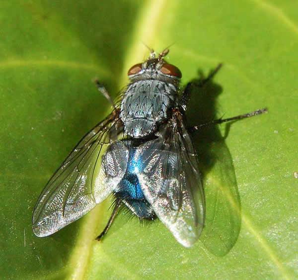 Des mouches, des asticots sa va plus :x Mouche_bleue_09-12e4cf2