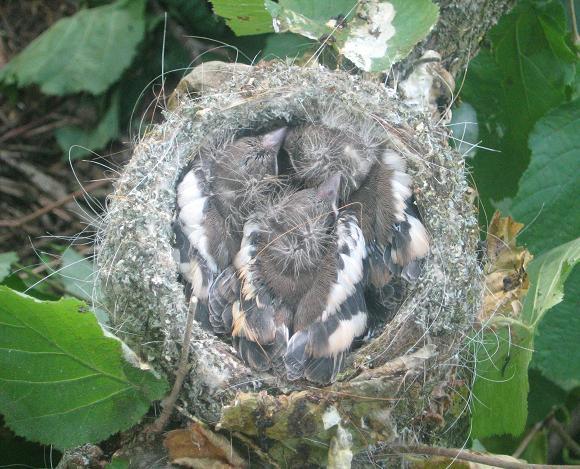 bébé oiseaux Photo-587-1d8f3b0