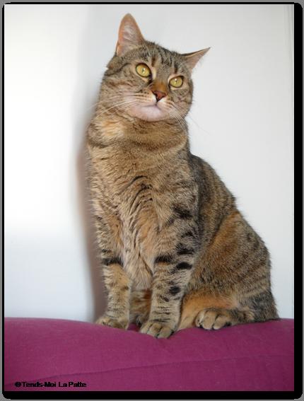 ZINA 4 ans gentille femelle marron tigrée Zina---co--02-1b32929