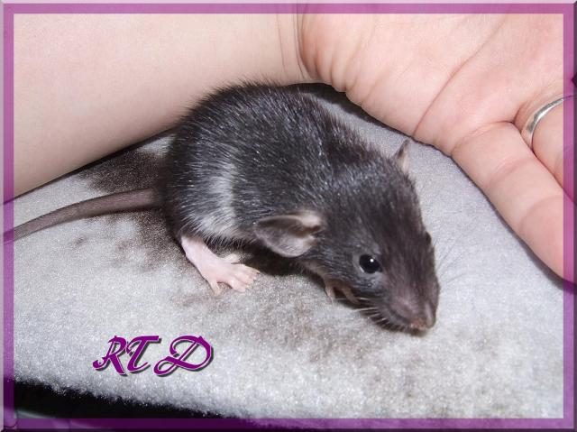 A venir, Zig-zag X Kiwi, bleu russe/noir, standard rex/lisse - Page 2 Dscf7679-66edc7