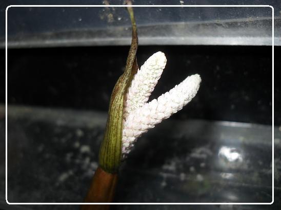 L'évolution d'une fleure  Aponogeton boivinianus Sdc12627-1ede84b