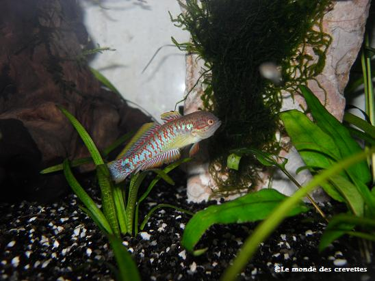 Mes Tateurndina ocellicauda 20090923_12-135e684