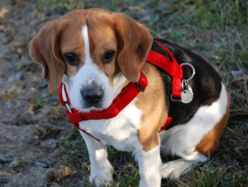 http://img42.xooimage.com/files/b/1/6/chiot-beagle-163f939.jpg