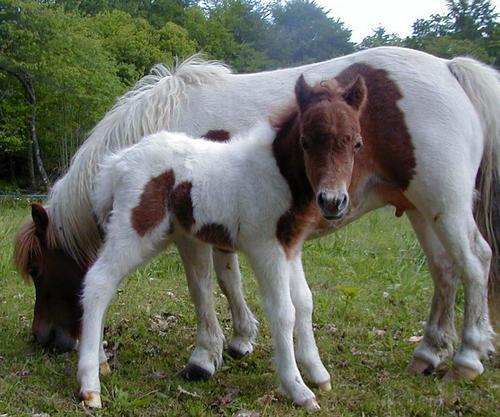 http://img42.xooimage.com/files/c/0/2/cheval-miniature-americain--1940ae0.jpg