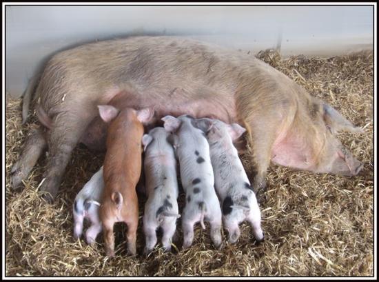 Image-tetée-petits-cochons-fanfan