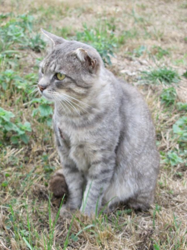 Spider chat tigré gris mâle FIV+ de 08/2005 - dpt 56 Img_0269-1eb8c81